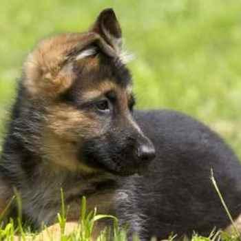 Free German Shepherd Puppies For Adoption
