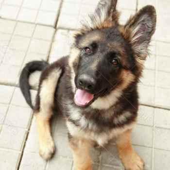 Free German Shepherd Puppies Near Me