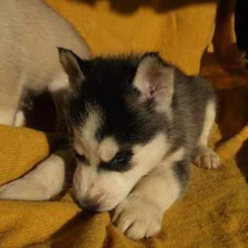 Free Husky Puppies In Houston Tx