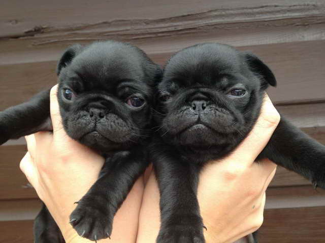 Free Pug Puppies Near Me