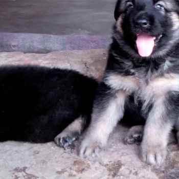 Free Puppy German Shepherd