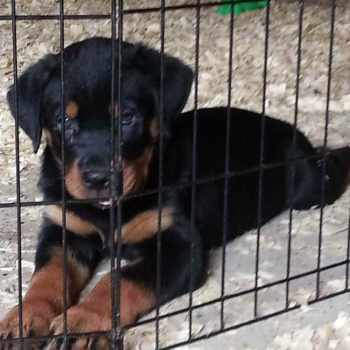 Free Rottweiler Puppies In Ohio