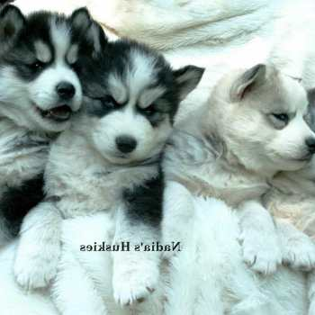 Free Siberian Husky Puppies For Adoption