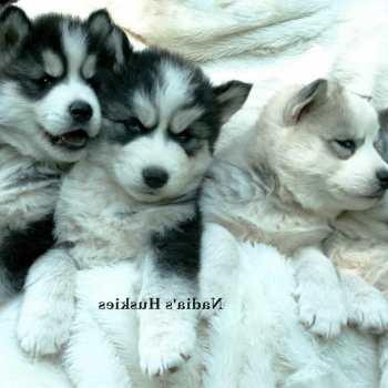 Free Siberian Husky