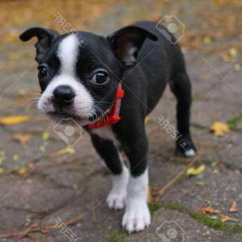 Free Terrier Puppies