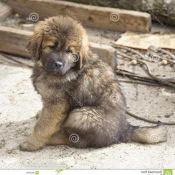 Free Tibetan Mastiff