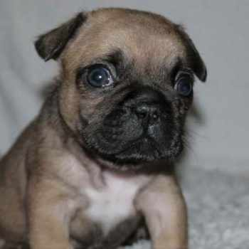 French Bulldog Pug Puppies For Sale