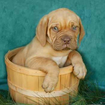 French Mastiff Breeders Ny