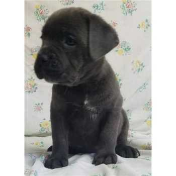 French Mastiff Puppies California