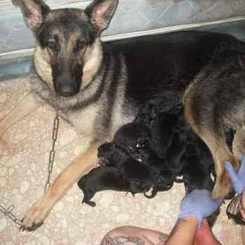 Full Blooded German Shepherd Puppy