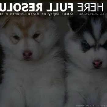 Full Breed Husky Puppies