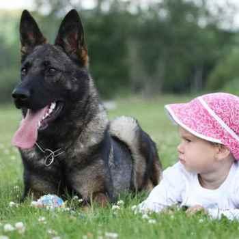 Fully Trained German Shepherd