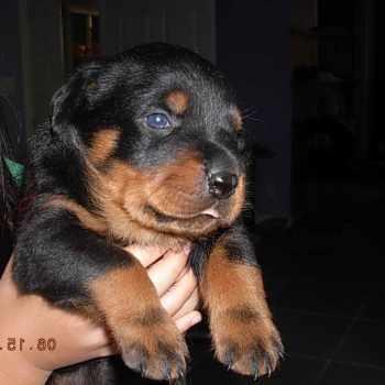 German Rottweiler Puppies For Sale In Arkansas