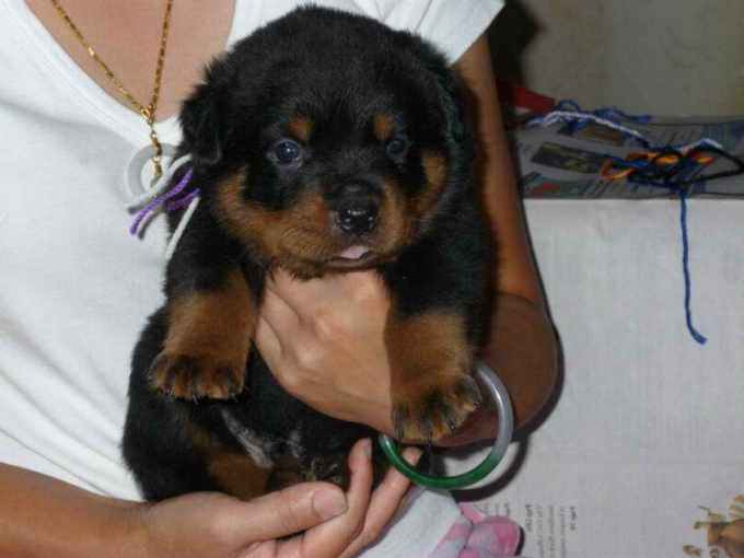 German Rottweiler Puppies For Sale In Michigan