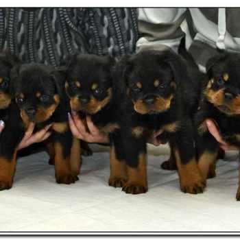 German Rottweiler Puppies For Sale In Missouri