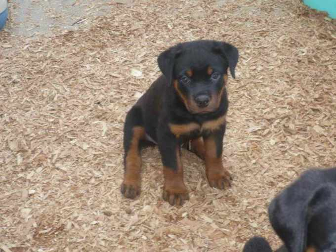 German Rottweiler Puppies For Sale In Ohio