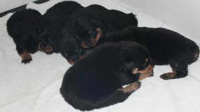 German Rottweiler Puppies For Sale In Washington State