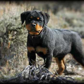 German Rottweiler Puppy For Sale