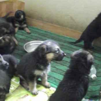 German Shepherd 1 Month Puppy