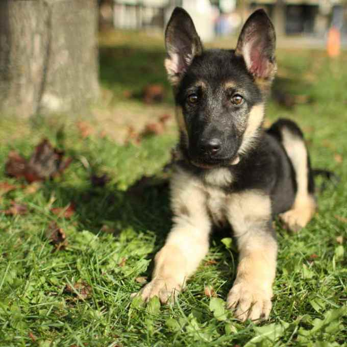 German Shepherd Adoption Nj