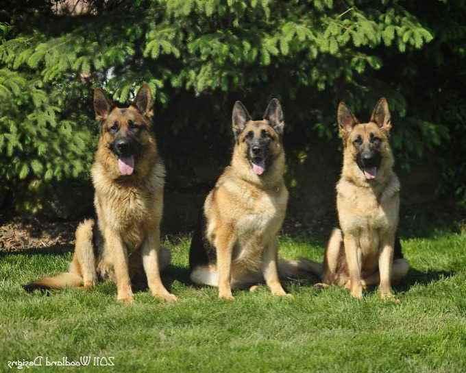 German Shepherd Akc For Sale
