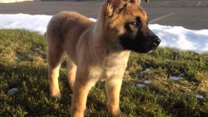 German Shepherd Akita Mix For Sale