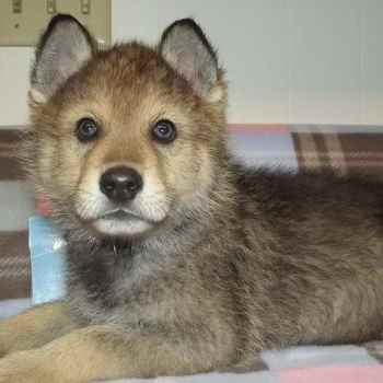German Shepherd And Wolf Mix Puppies