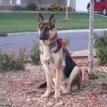 German Shepherd Arkansas