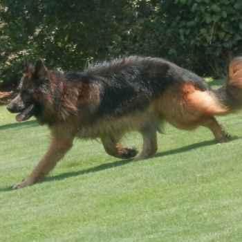 German Shepherd Atlanta