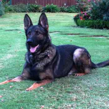 German Shepherd Attack Dogs For Sale