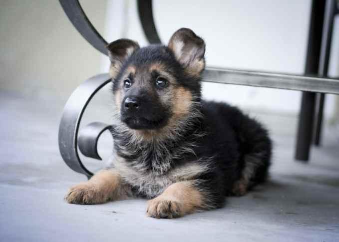 German Shepherd Baby Puppies