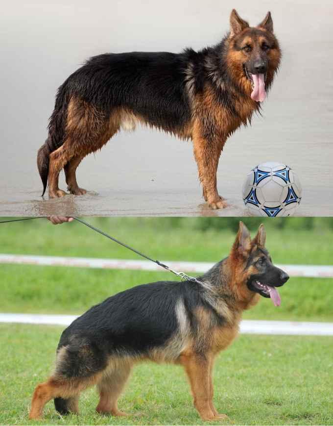 German Shepherd Back Problems