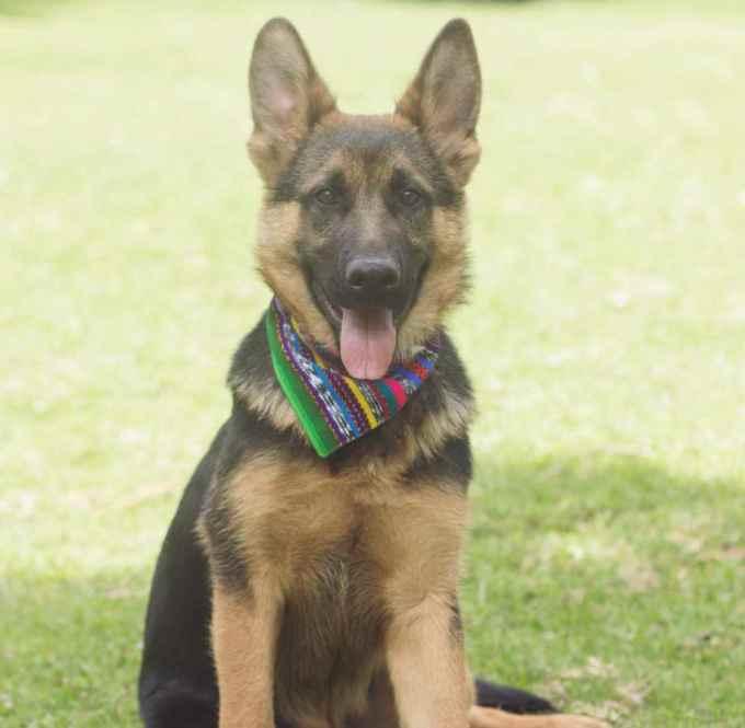 German Shepherd Bandana