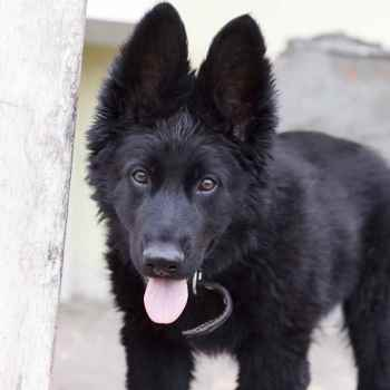 German Shepherd Black For Sale