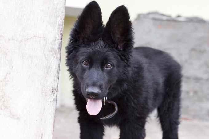 German Shepherd Black For Sale