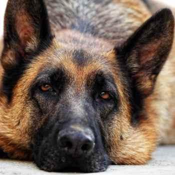 German Shepherd Bone Cancer