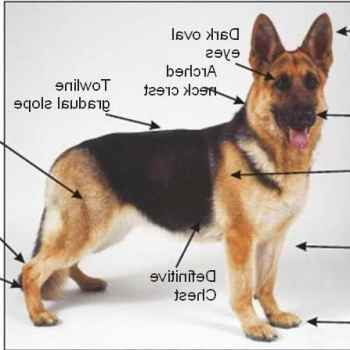 German Shepherd Breed Characteristics