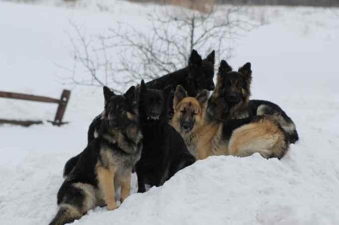 German Shepherd Breeders Albany Ny