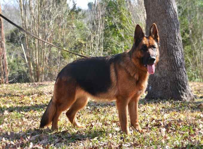 German Shepherd Breeders Houston