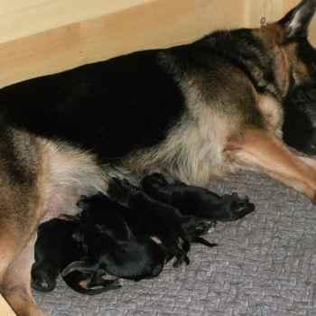 German Shepherd Breeders In Ky