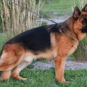 German Shepherd Breeders In Mi