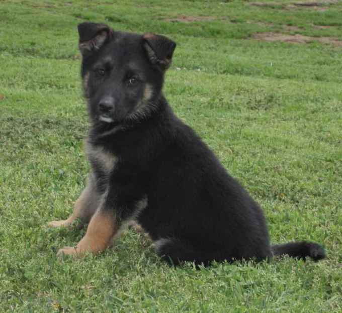 German Shepherd Breeders In Missouri