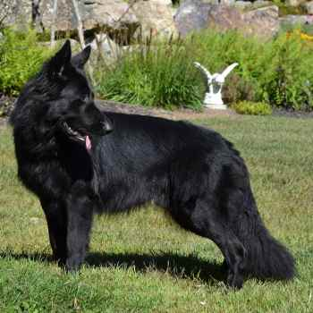 German Shepherd Breeders In New Hampshire