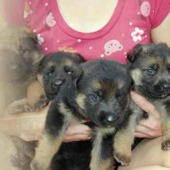 German Shepherd Breeders Nc