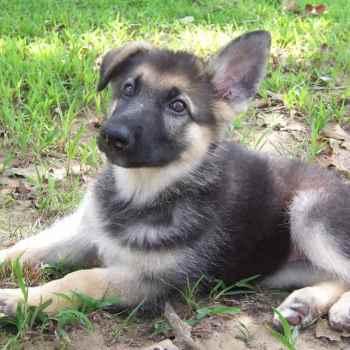 German Shepherd Breeders Ri