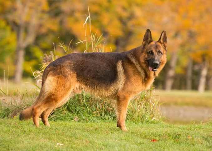 German Shepherd Breeders Vermont