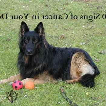 German Shepherd Cancer