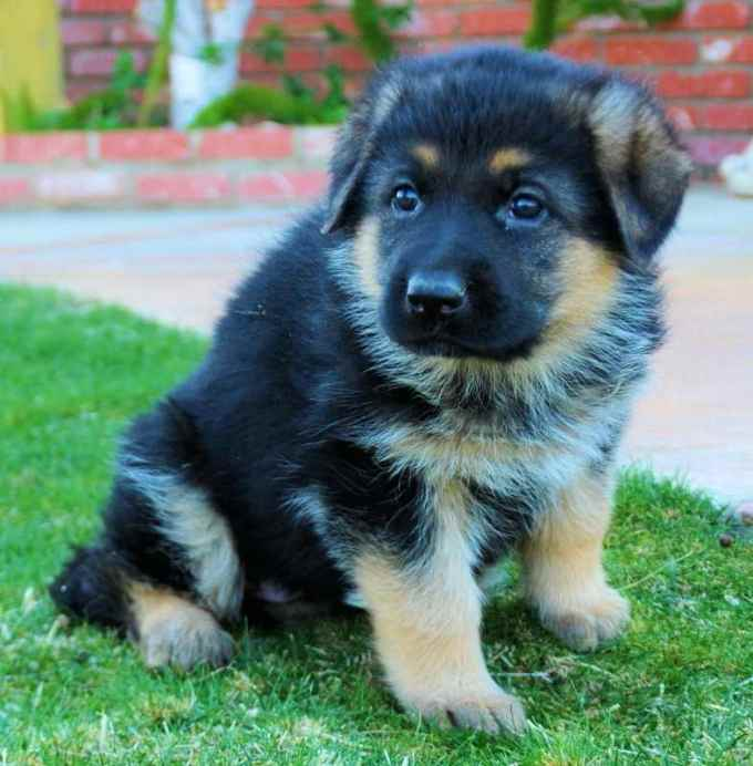 German Shepherd Chow Mix Puppies For Sale