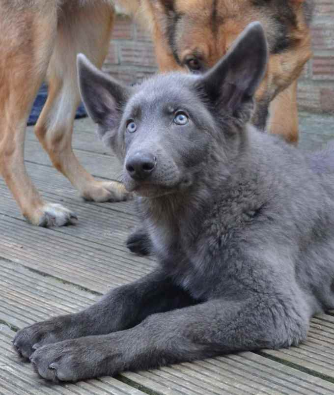 German Shepherd Colors Blue