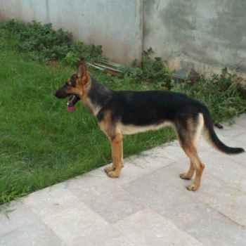 German Shepherd Dog Forum